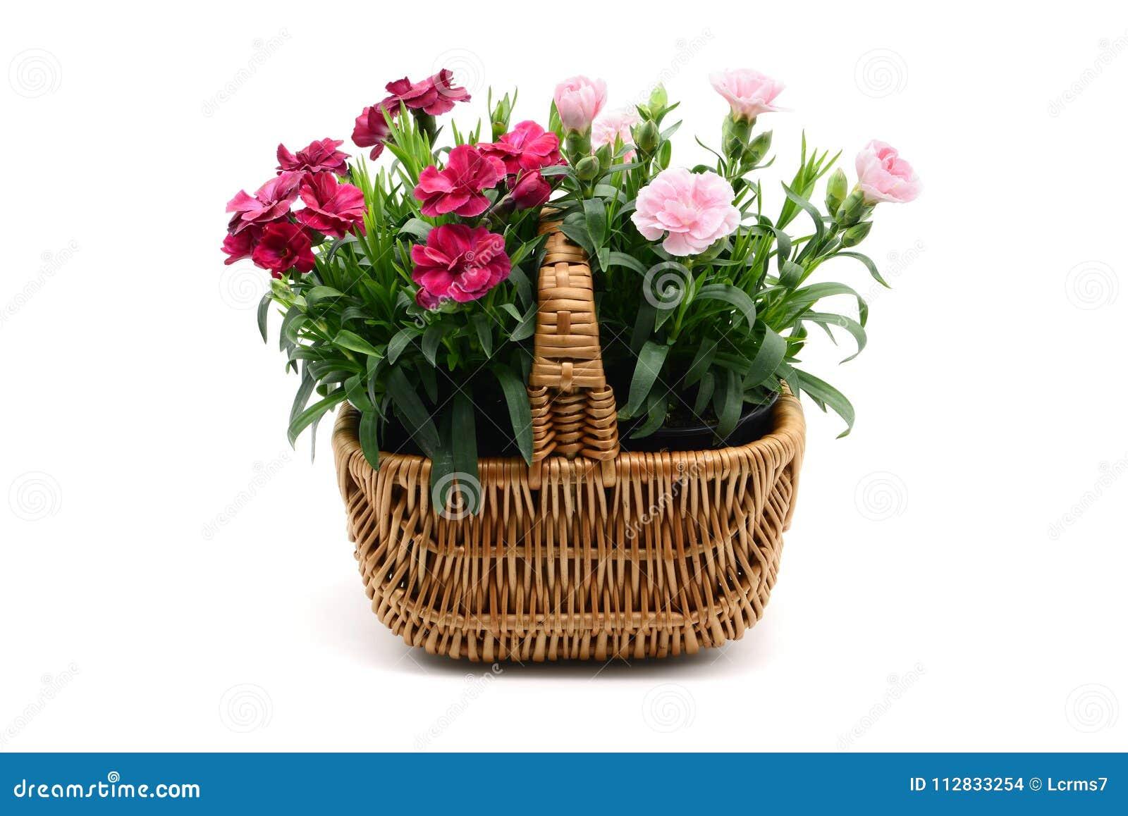Purple pink dianthus flower in basket on white backgrou