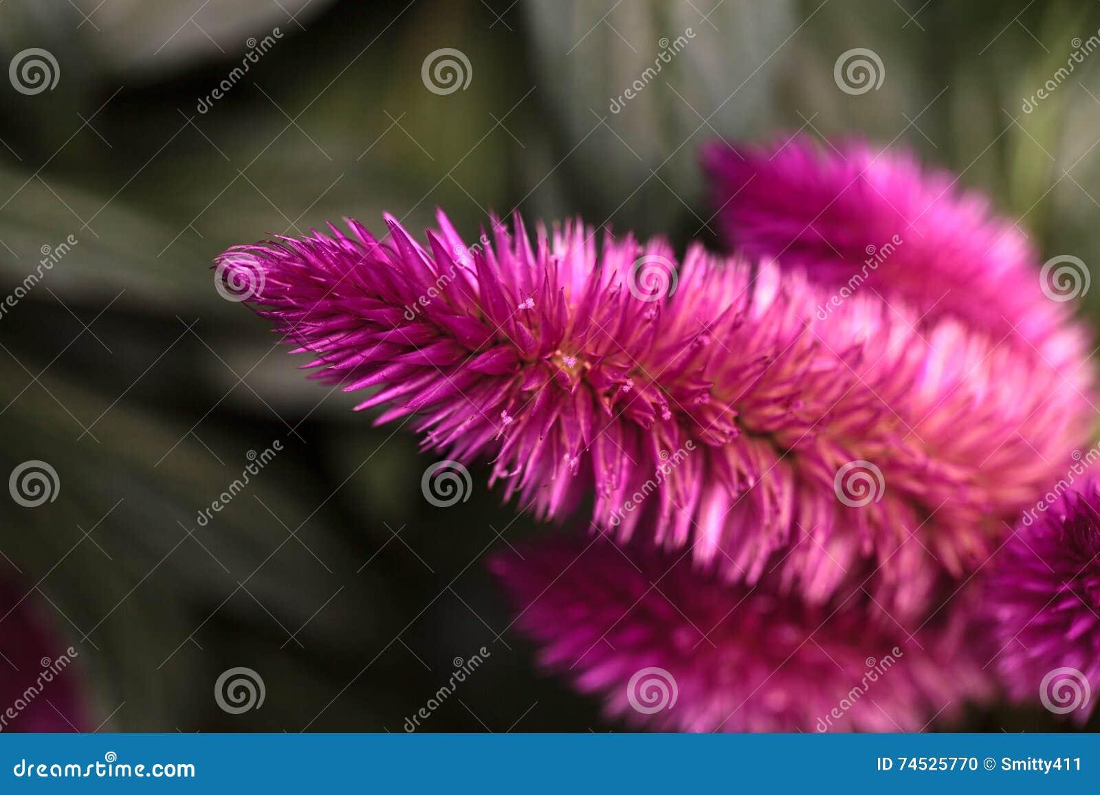 Purple Pink Flower Of Celosia Stock Photo Image Of Garden Purple