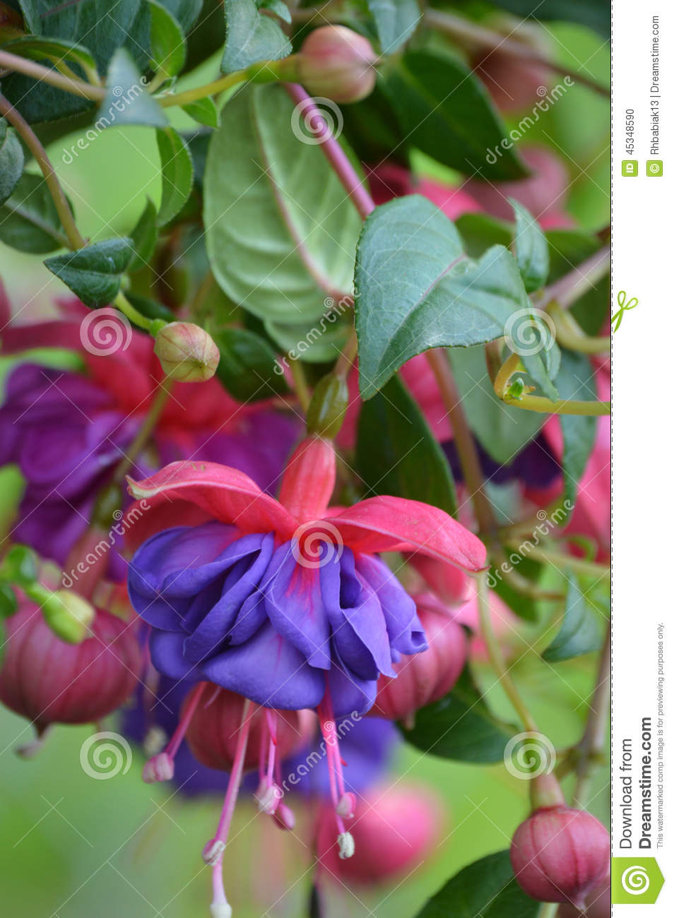 Fuchsia Flowers Stock Photo Image Of Hang Garden Leaves 45348590