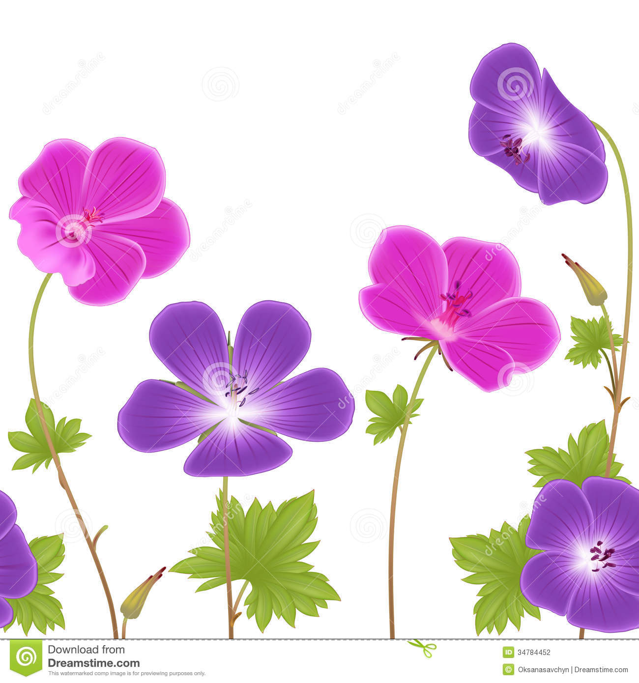 Purple And Pink Geranium Flowers Stock Illustration Illustration