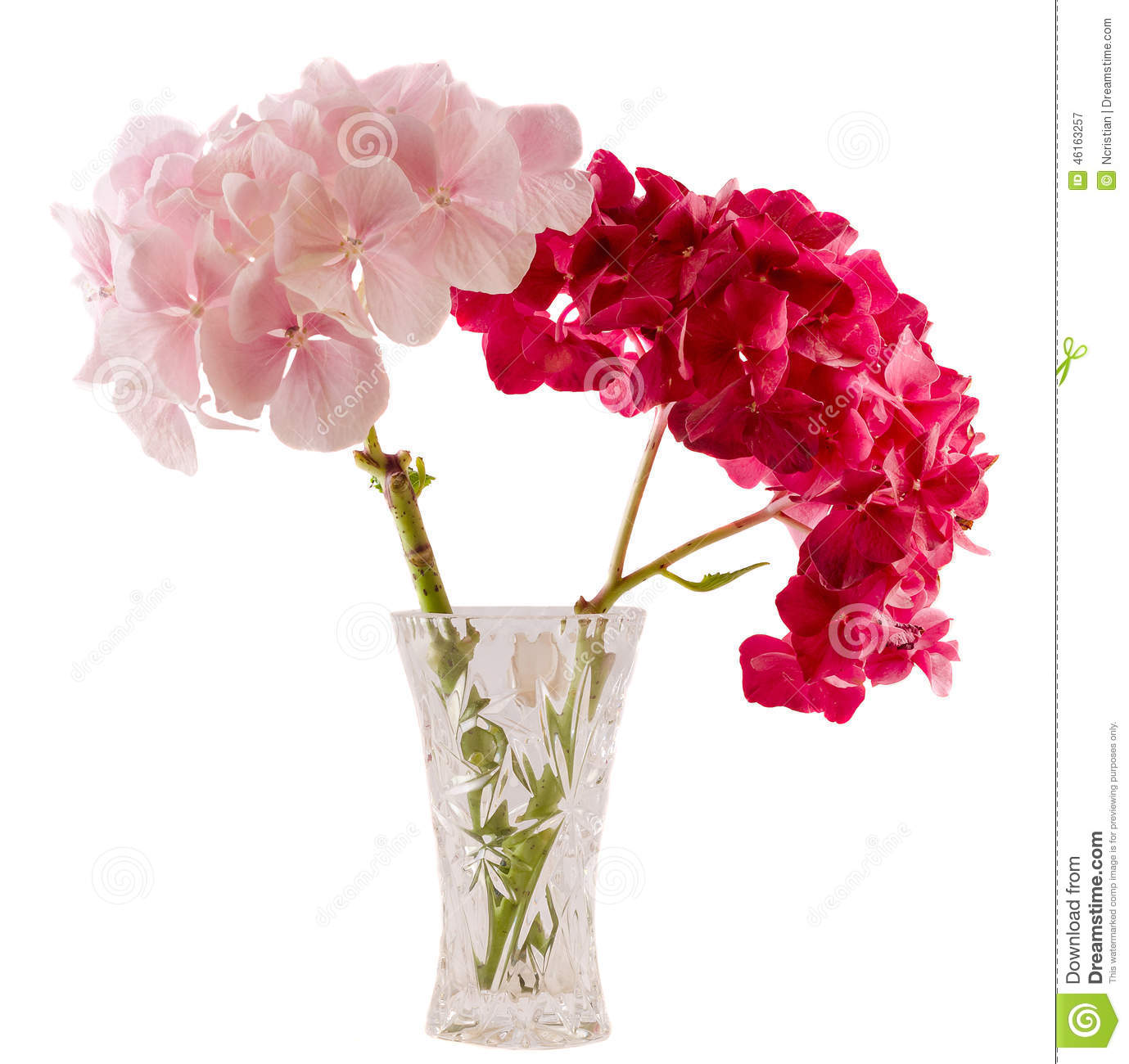 Purple And Pink Hortensia Hydrangea Flower In A Transparent Vase Close Up Isolated White Background