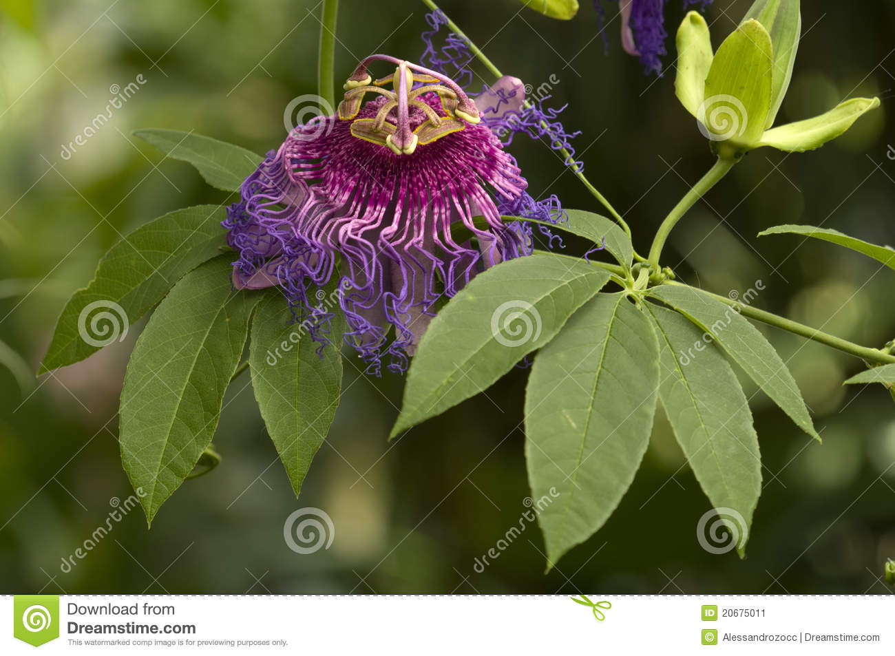 Purple And Pink Passion Flower Stock Image Image