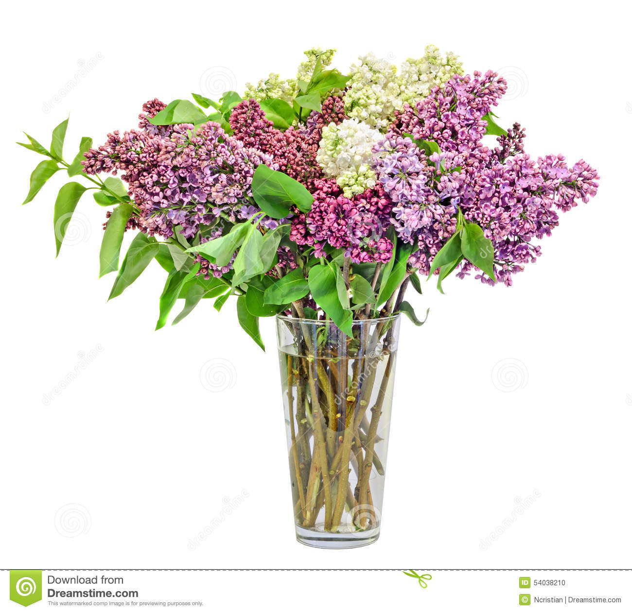 Purple pink and white syringa vulgaris in a transparent vase background close common flowers dhlflorist Images