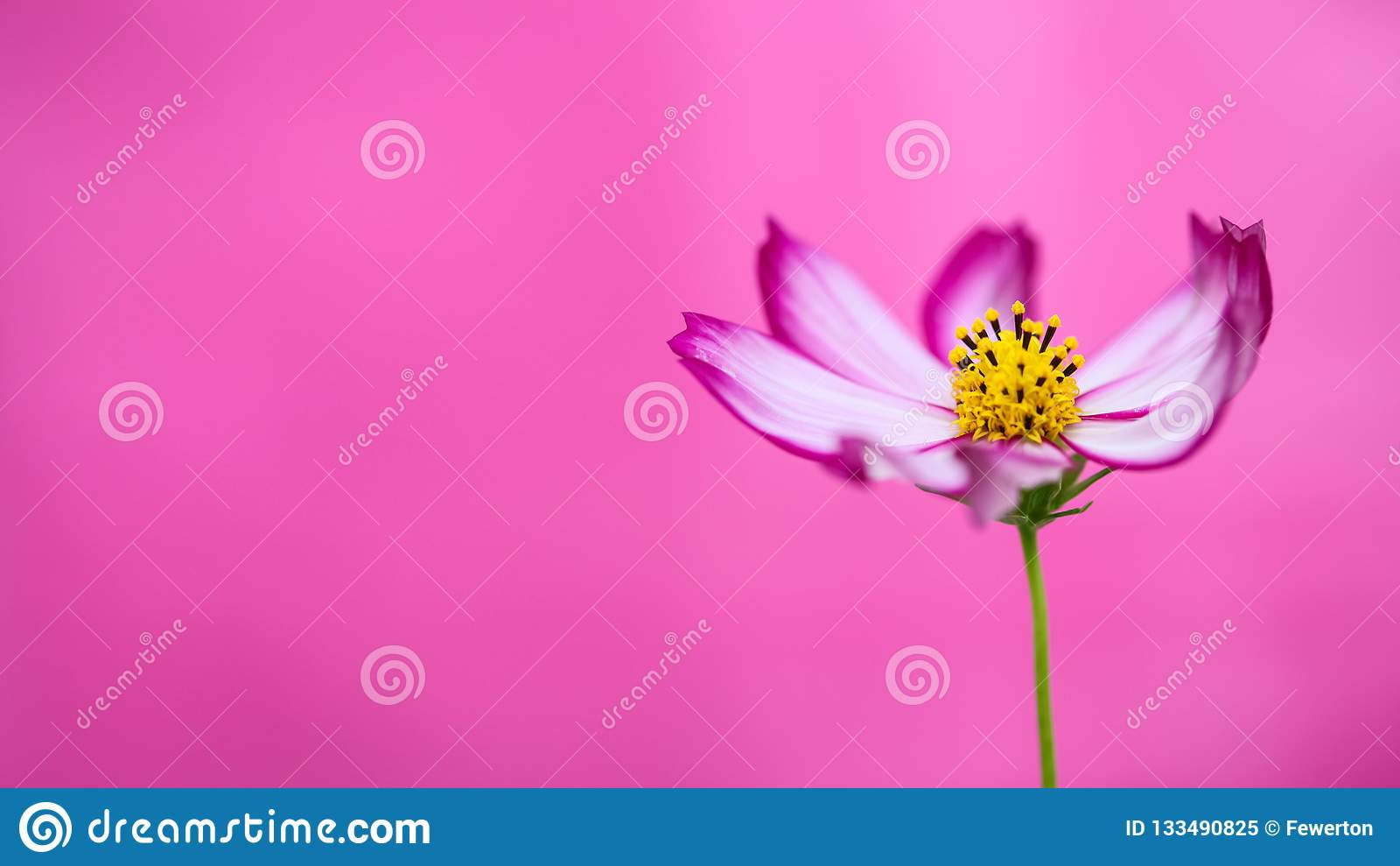 "Purple and pink wild flower ""Wild Cosmos Flower"" Cosmos bipinnatus blooming during Spring and Summer closeup macro photo"