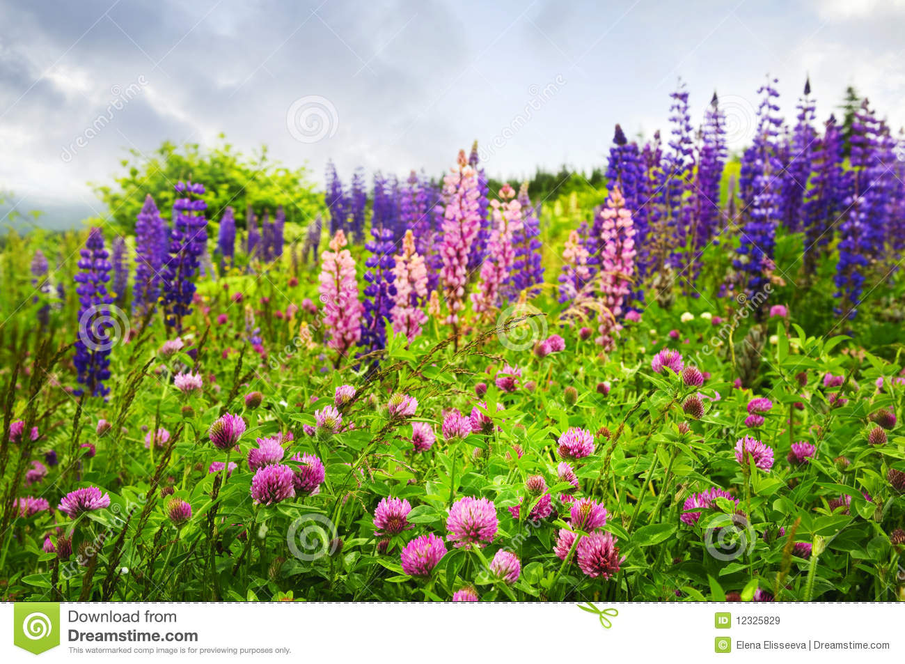 Purple and pink wildflowers in Newfoundland