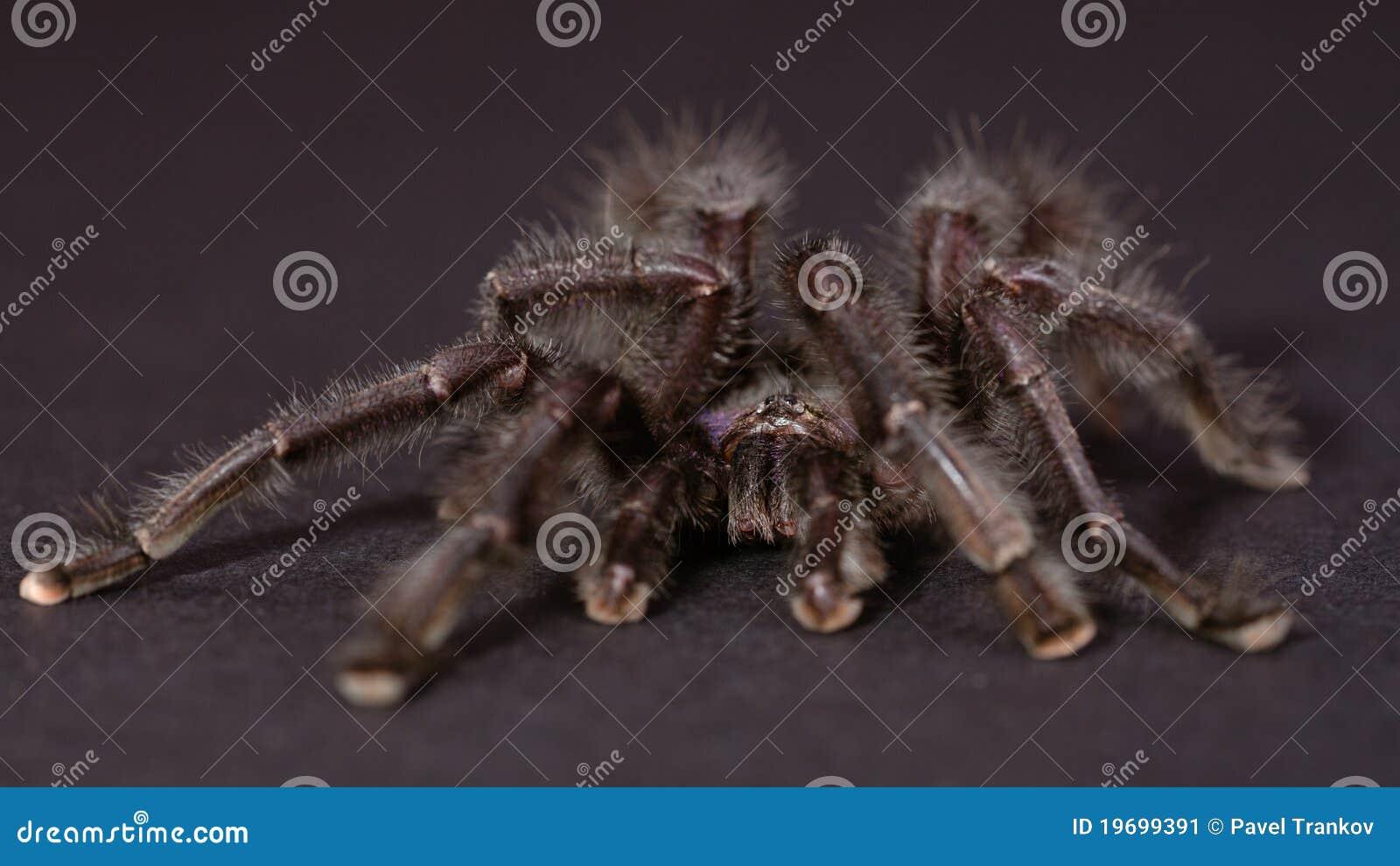 The Purple Pinktoe Tarantula
