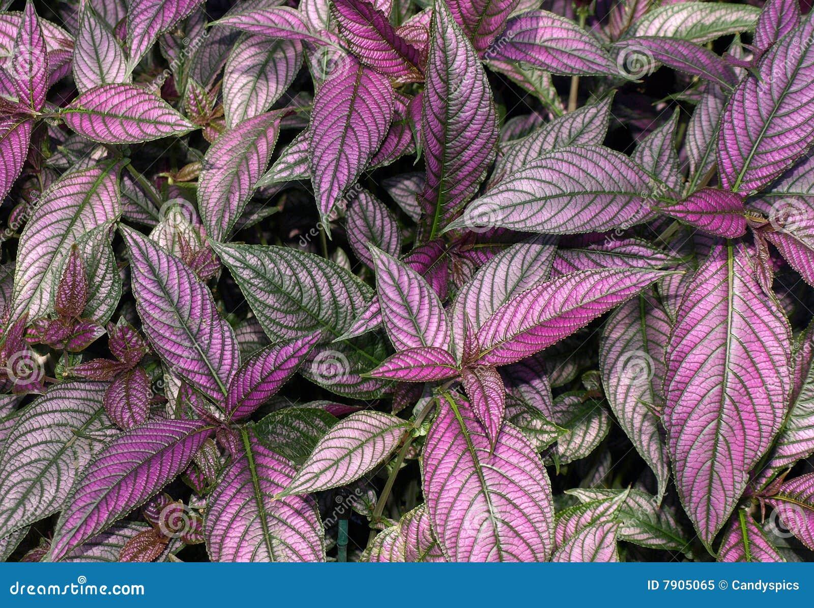 Purple Plant stock image. Image of persian, pattern