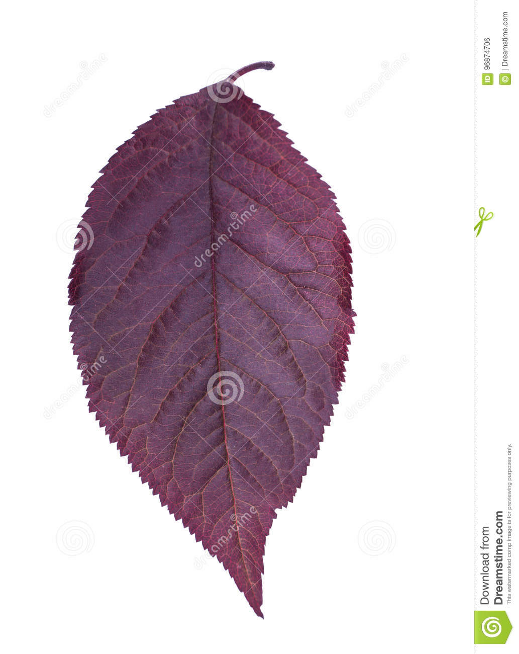 Purple Plum Leaf Isolated On A White Background Red Leaves Of