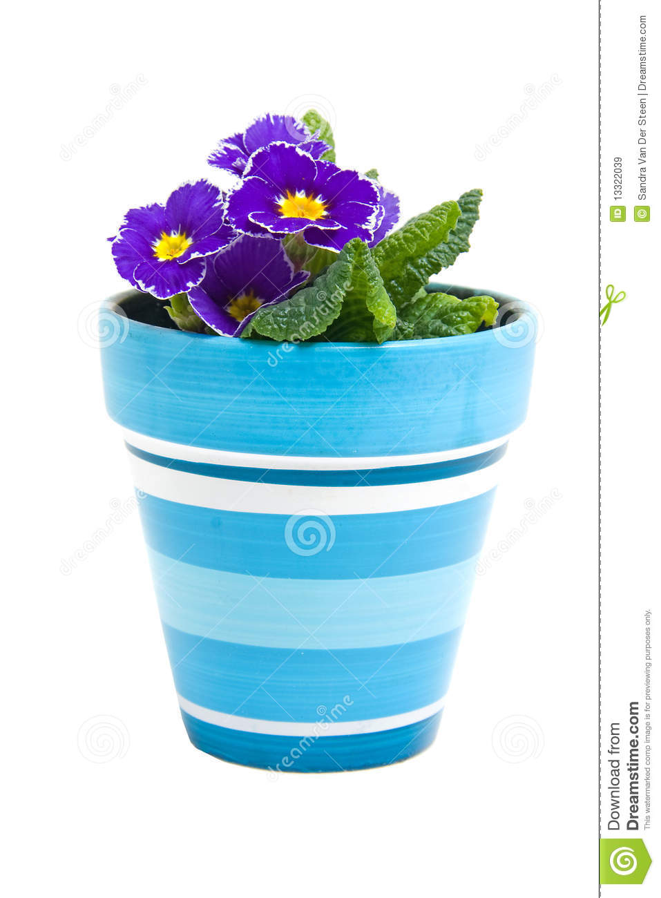 Purple Primula Flower In Blue Pot Stock Image Image Of Flowers