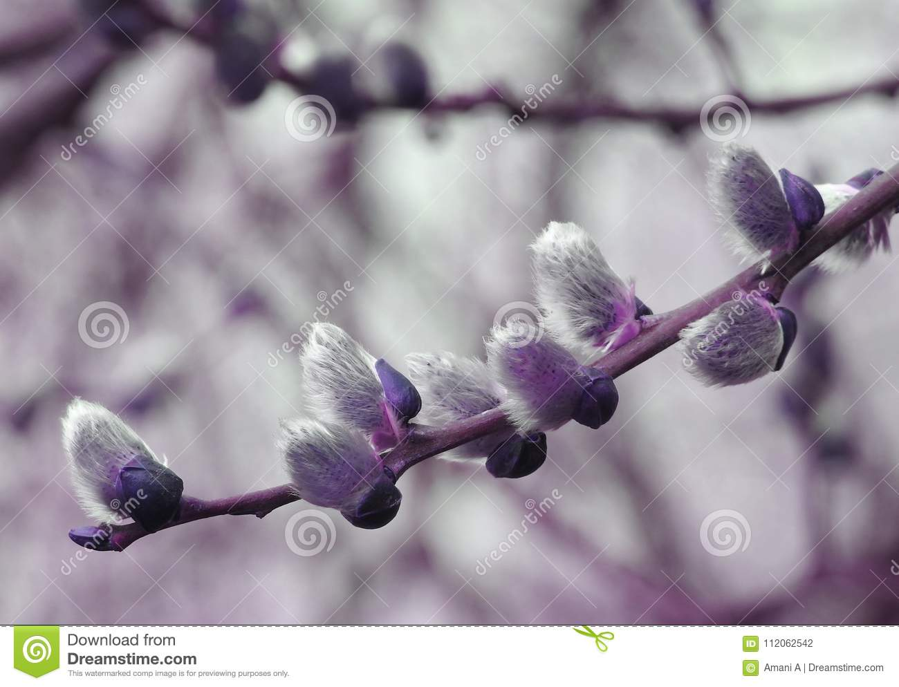 Purple willow