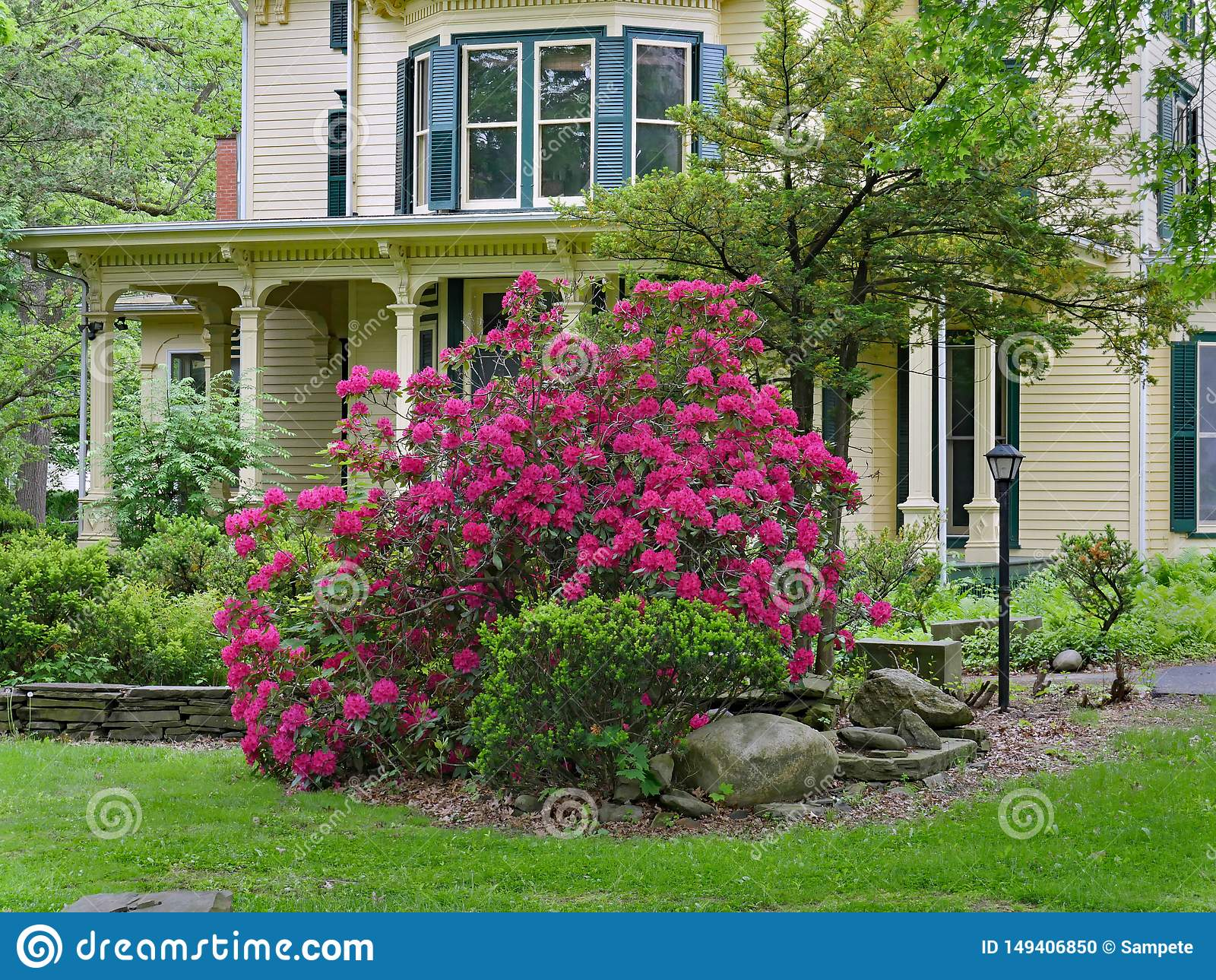 Purple rhododendron bush in bloom