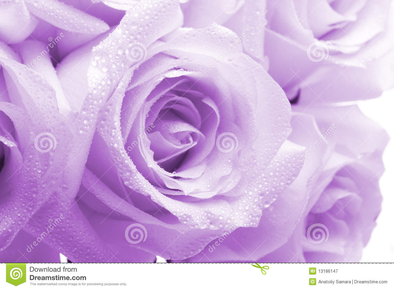purple roses stock photos, images,  pictures  , images, Beautiful flower
