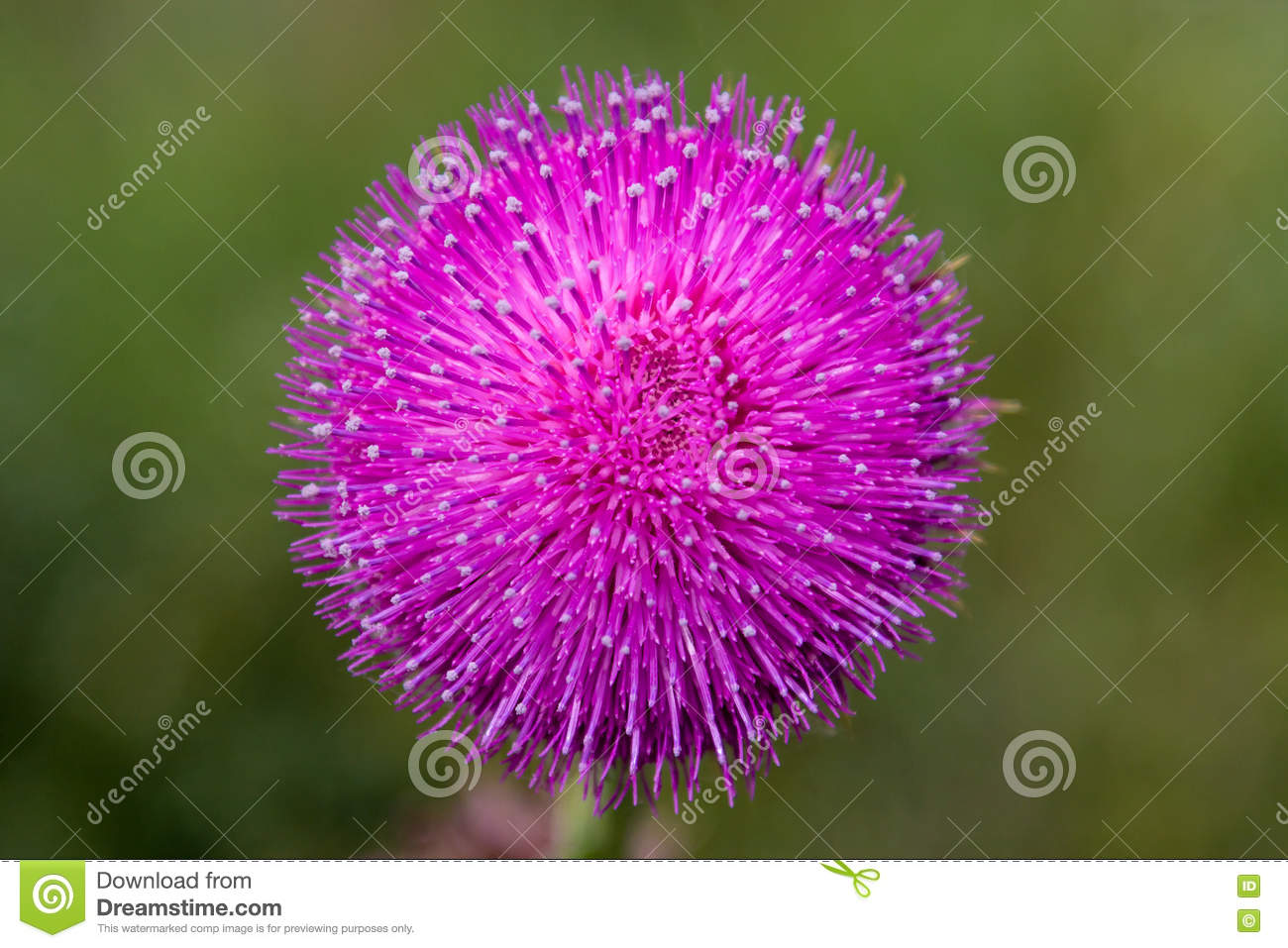 Purple round flower with white capped petals stock photo image of purple round flower with white capped petals mightylinksfo