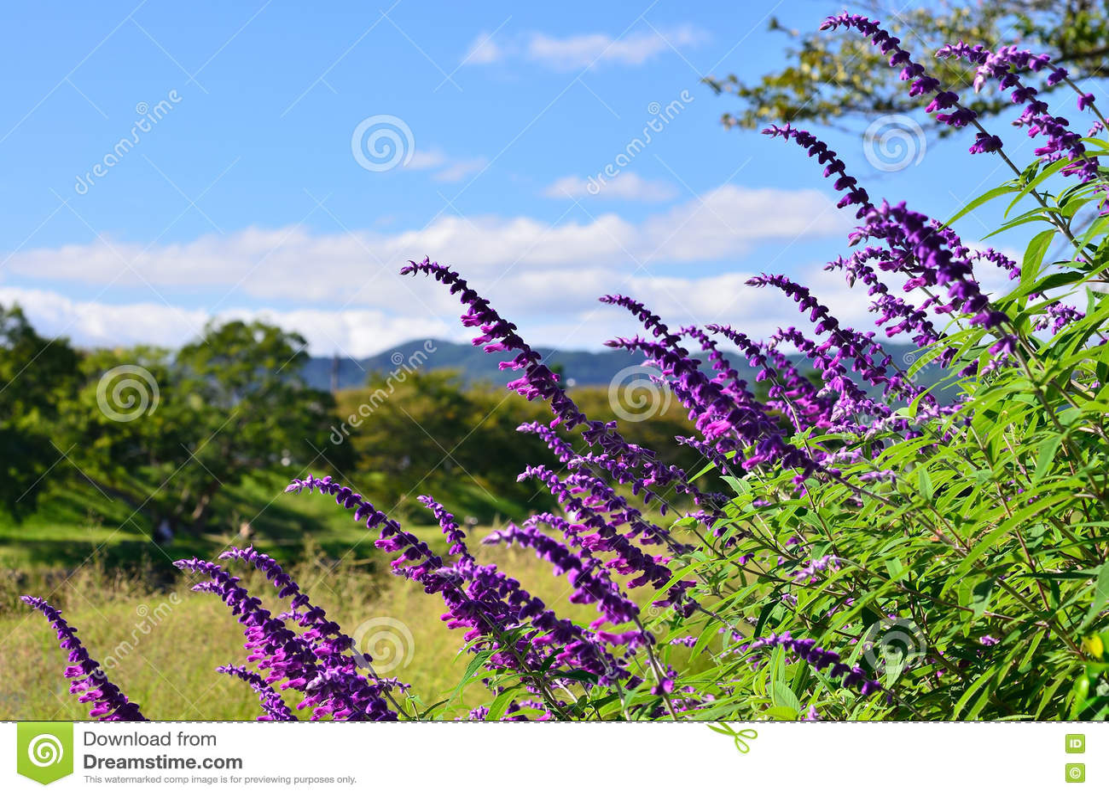 Purple sage and landscape of Kamo riverside Kyoto Japan