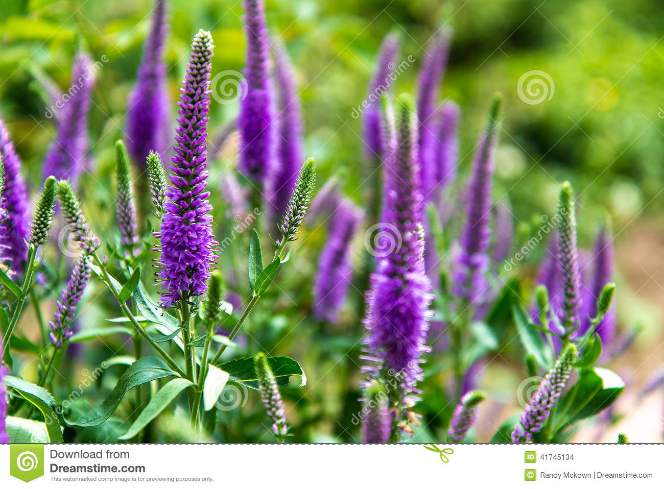 Purple Salvia Perennial Butterfly Flower Stock Photo - Image: 41745134
