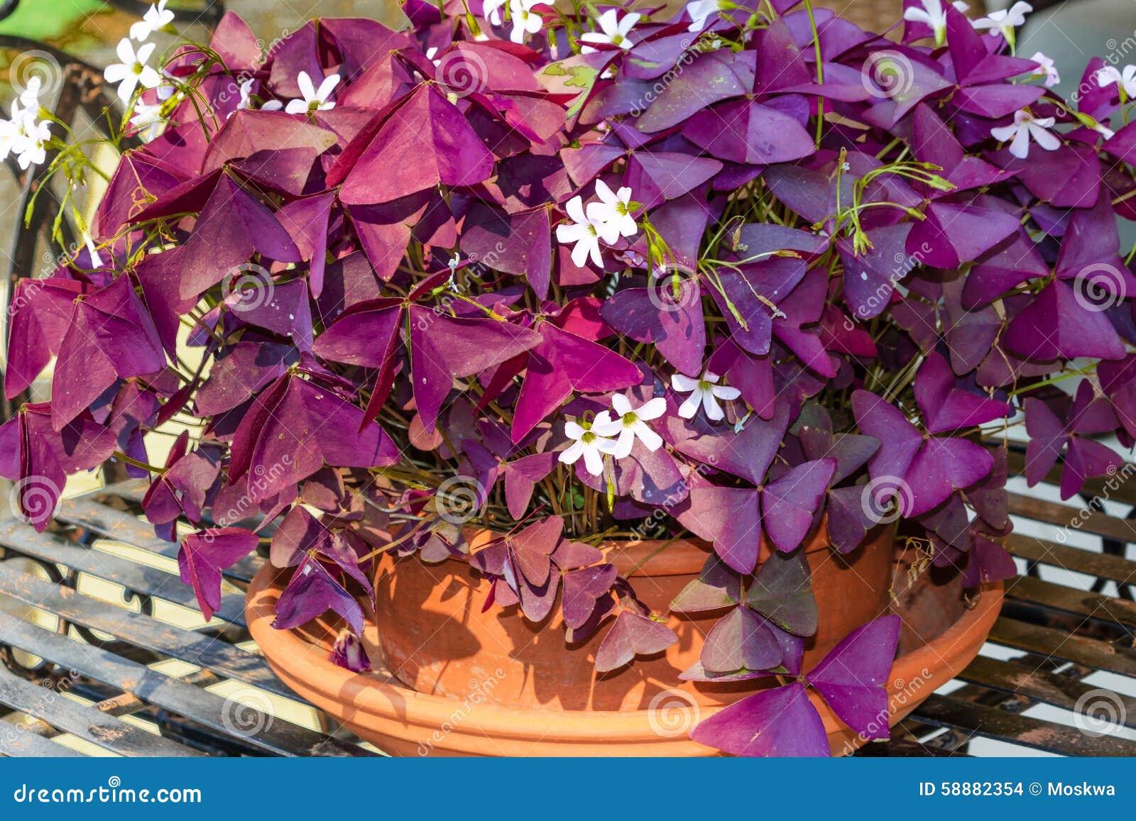 Цветы комнатные оксалис