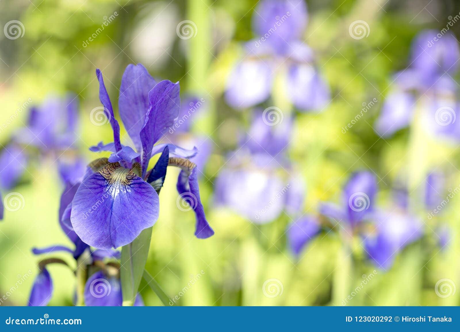 Purple siberian iris flower stock photo image of nature gardening download purple siberian iris flower stock photo image of nature gardening 123020292 izmirmasajfo