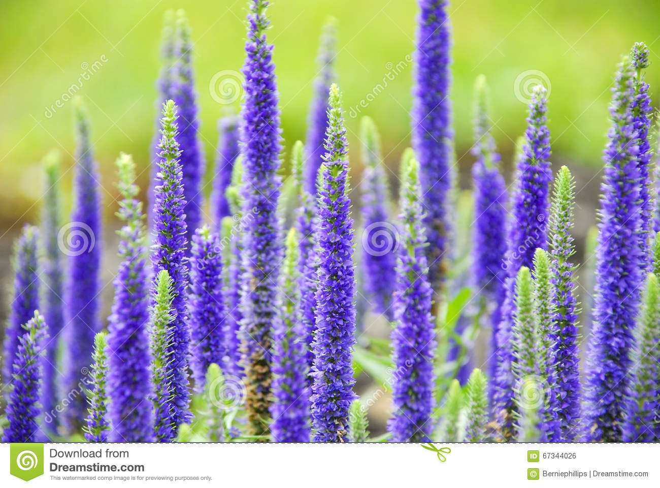 Purple Spring Flowers Stock Photo Image Of Veronica 67344026