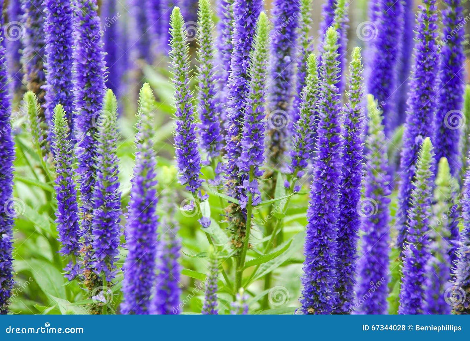 Purple Spring Flowers Stock Photo Image 67344028