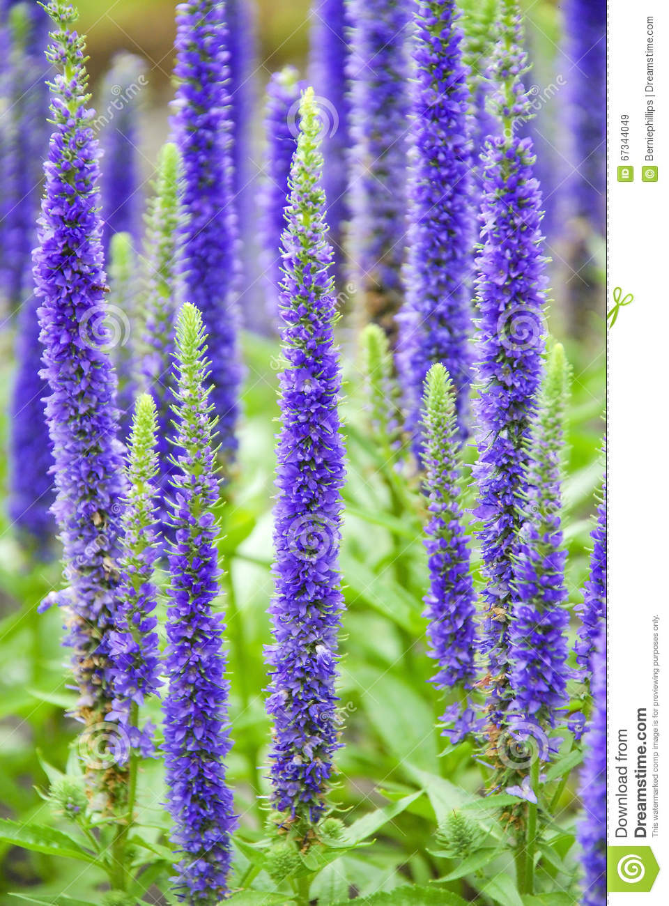 Purple Spring Flowers Stock Image Image Of Nepeta Blooming 67344049