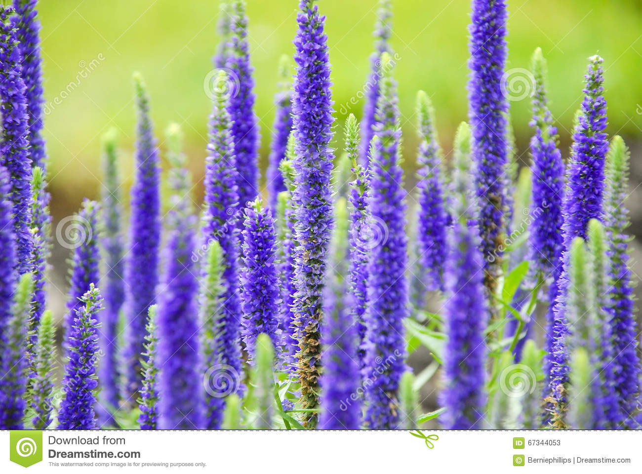 purple spring flowers stock image image of perennial