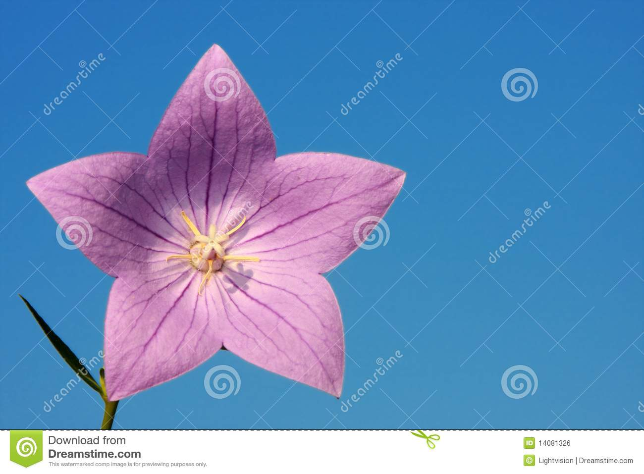 Purple Star Flower Stock Photo Image Of Garden Aromatherapy 14081326