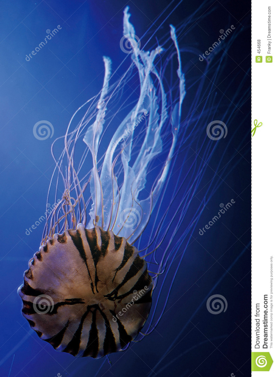 Download Purple-striped Jelly stock photo. Image of marine, pacific - 454668