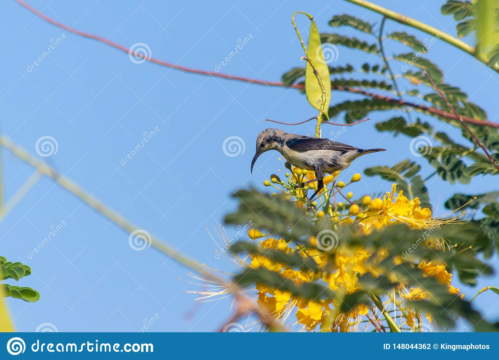 A female Purple Sunbird sucks nectar from a beautiful yellow flower in Muscat, Oman