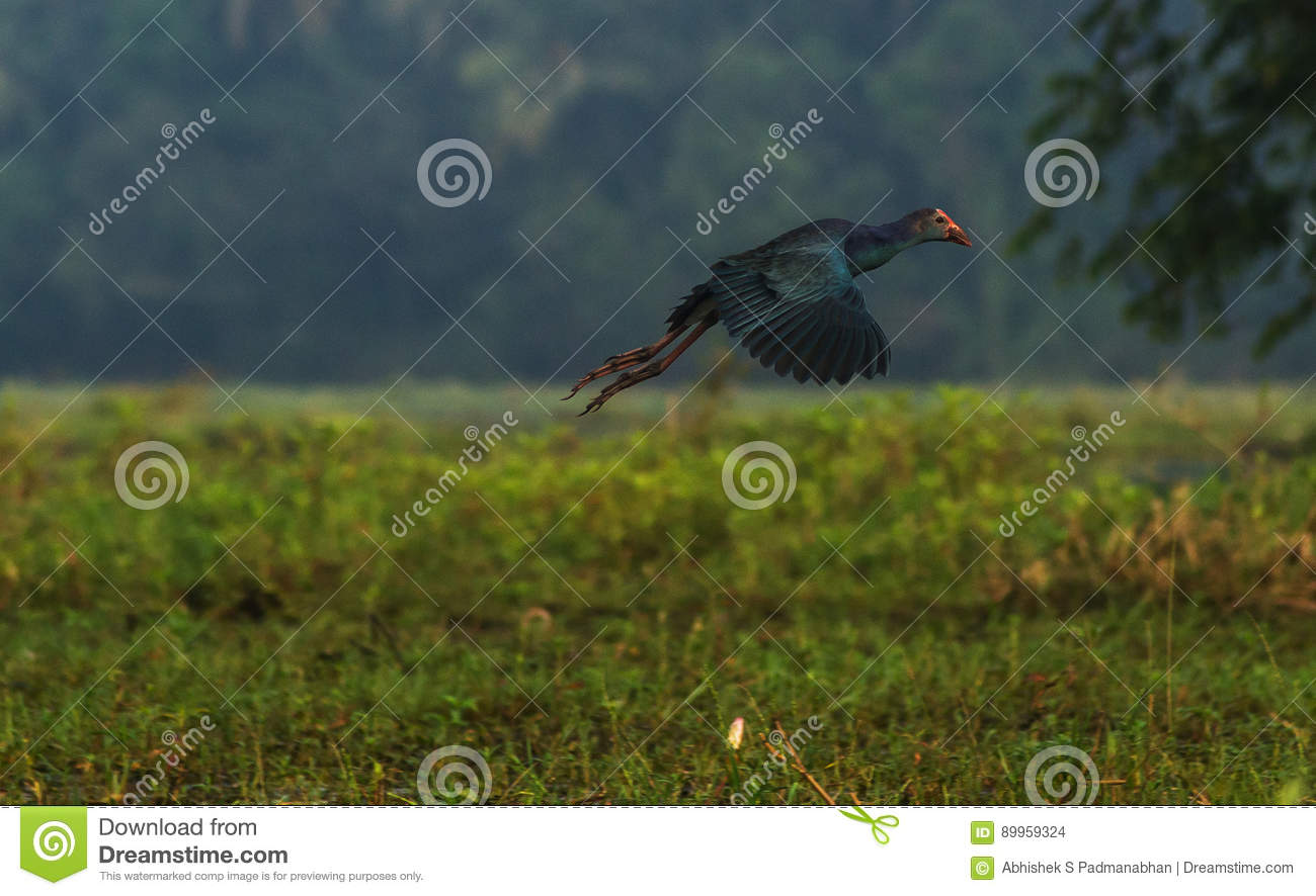 Purple Swamphen at flight stock photo  Image of middle