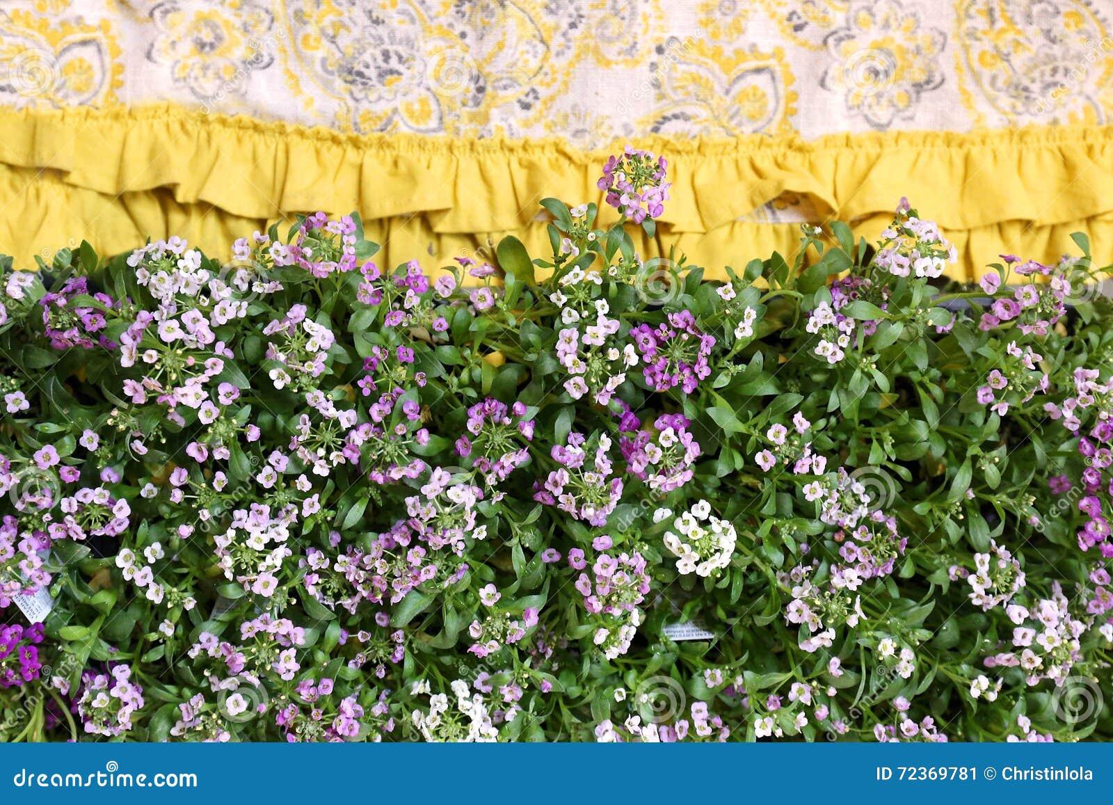 Purple Sweet Alyssum Flowers Border Stock Image Image Of Fabric