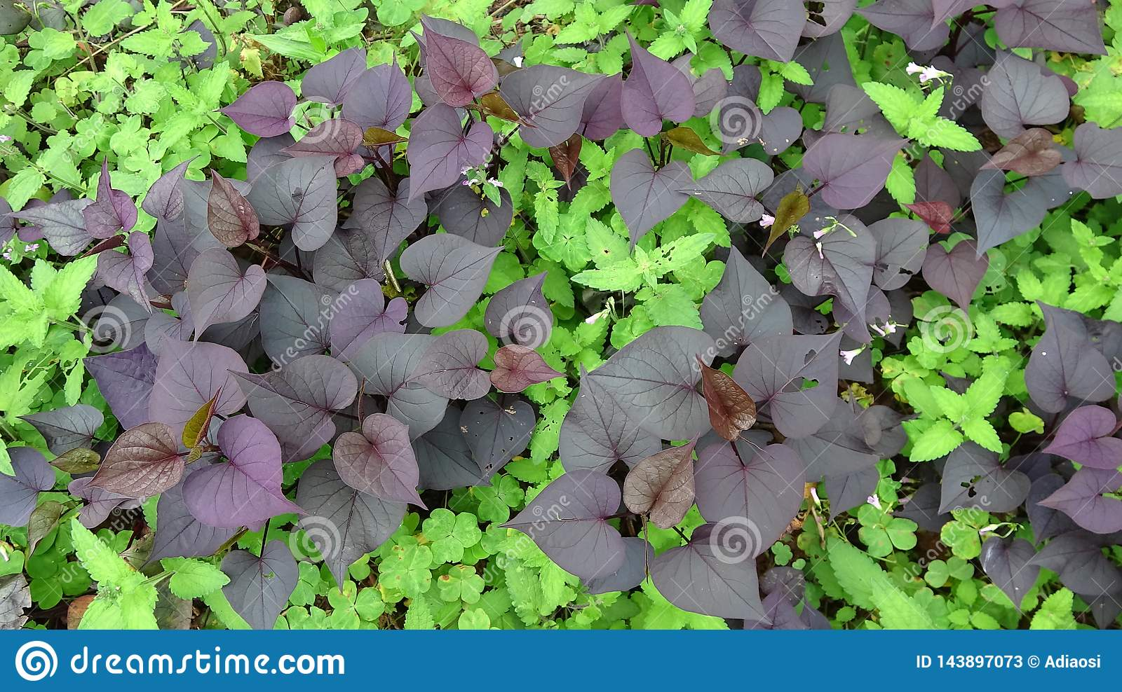 Purple sweet potato leaves grow in the grass