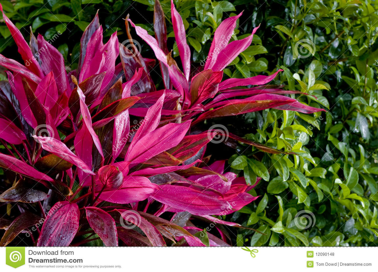 Purple Tropical Plants Royalty Free Stock Photos Image