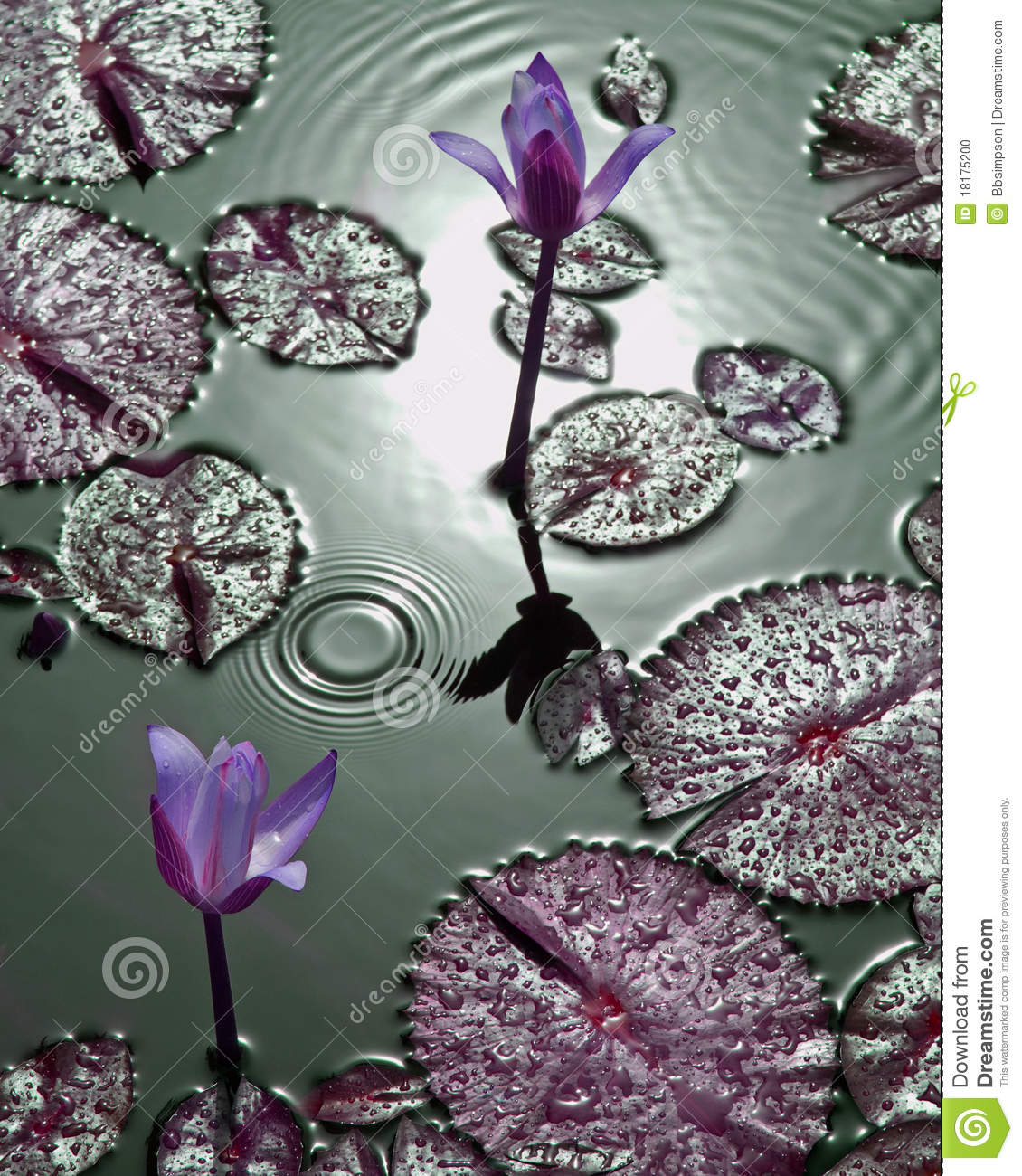Purple tropical water lilies with water droplets