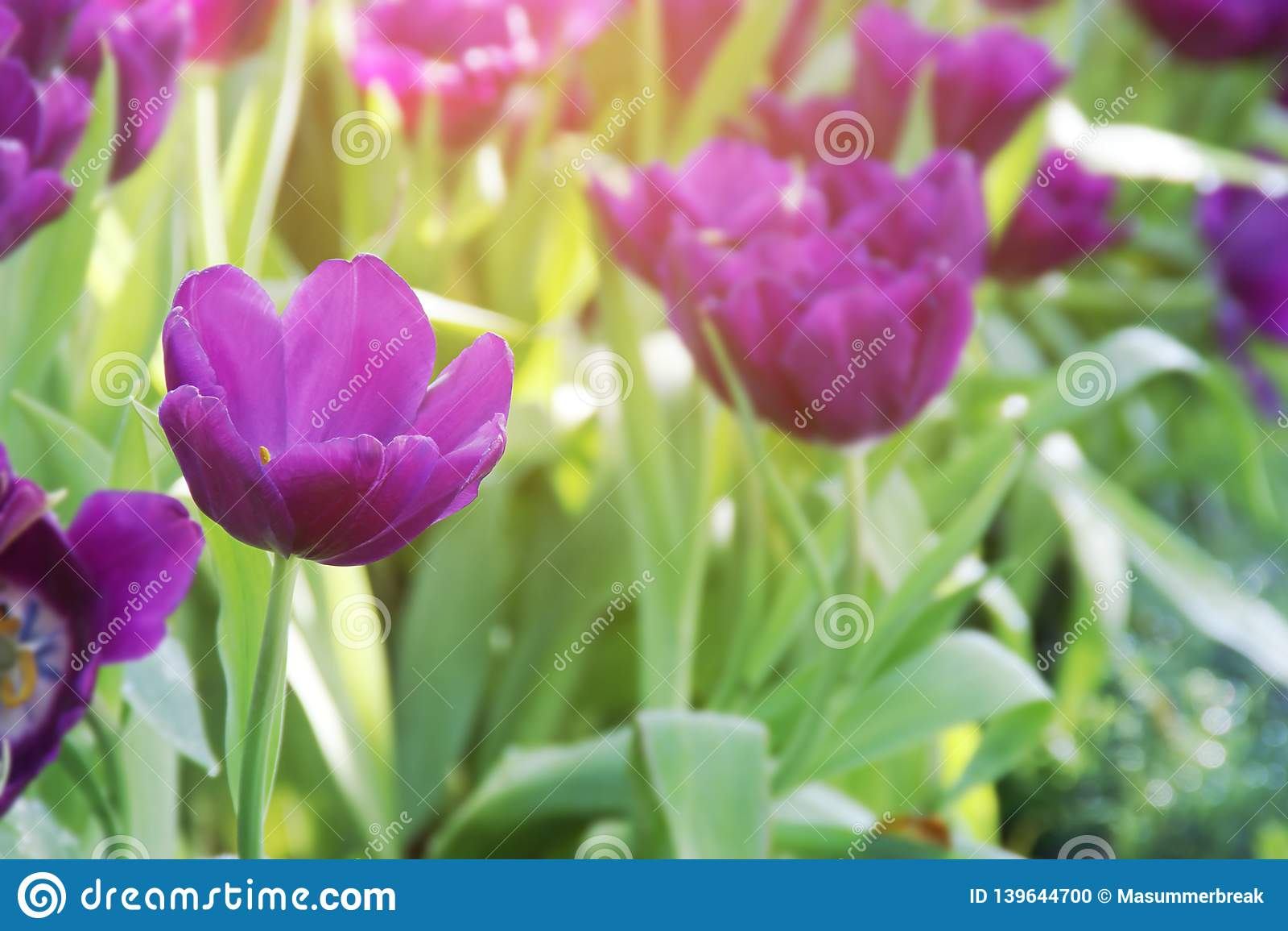 Purple Tulip Flowers in the Garden