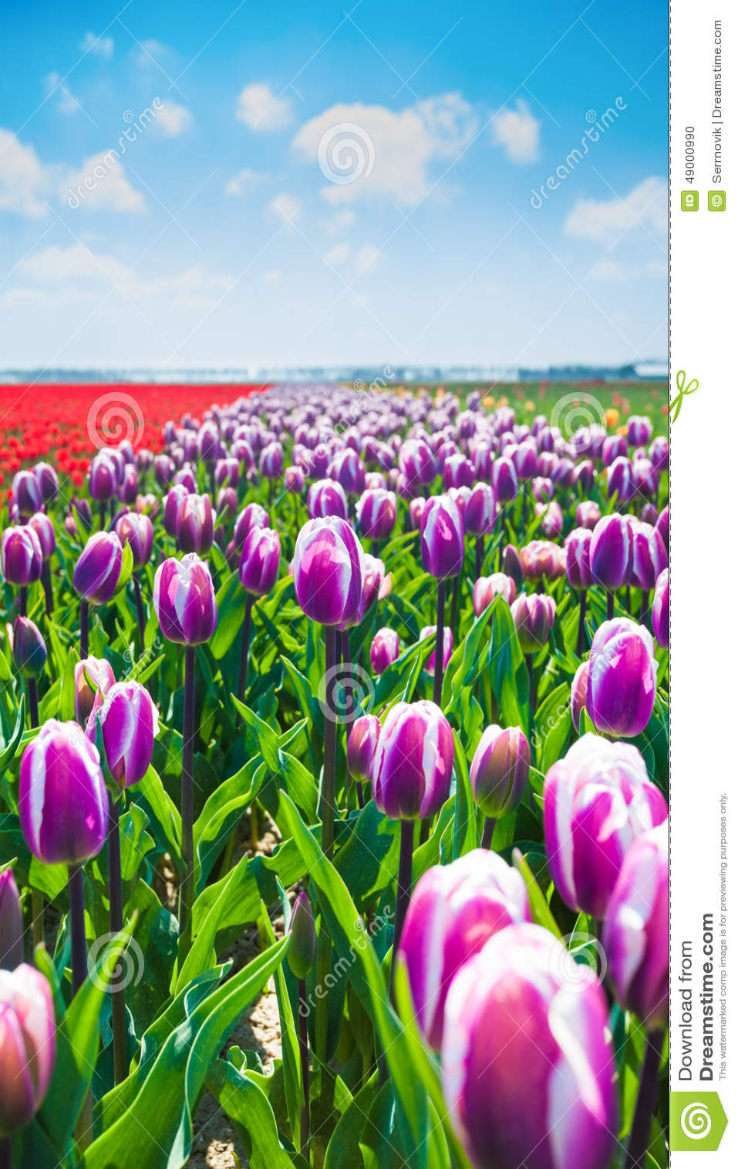 Summer Tulip Flowers Fields
