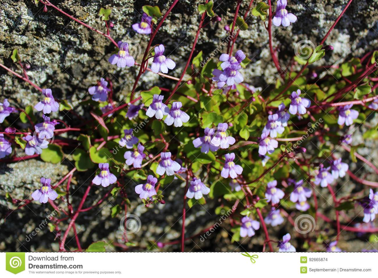 Purple Vines With Flowers Stock Photo Image Of Ground 92665874