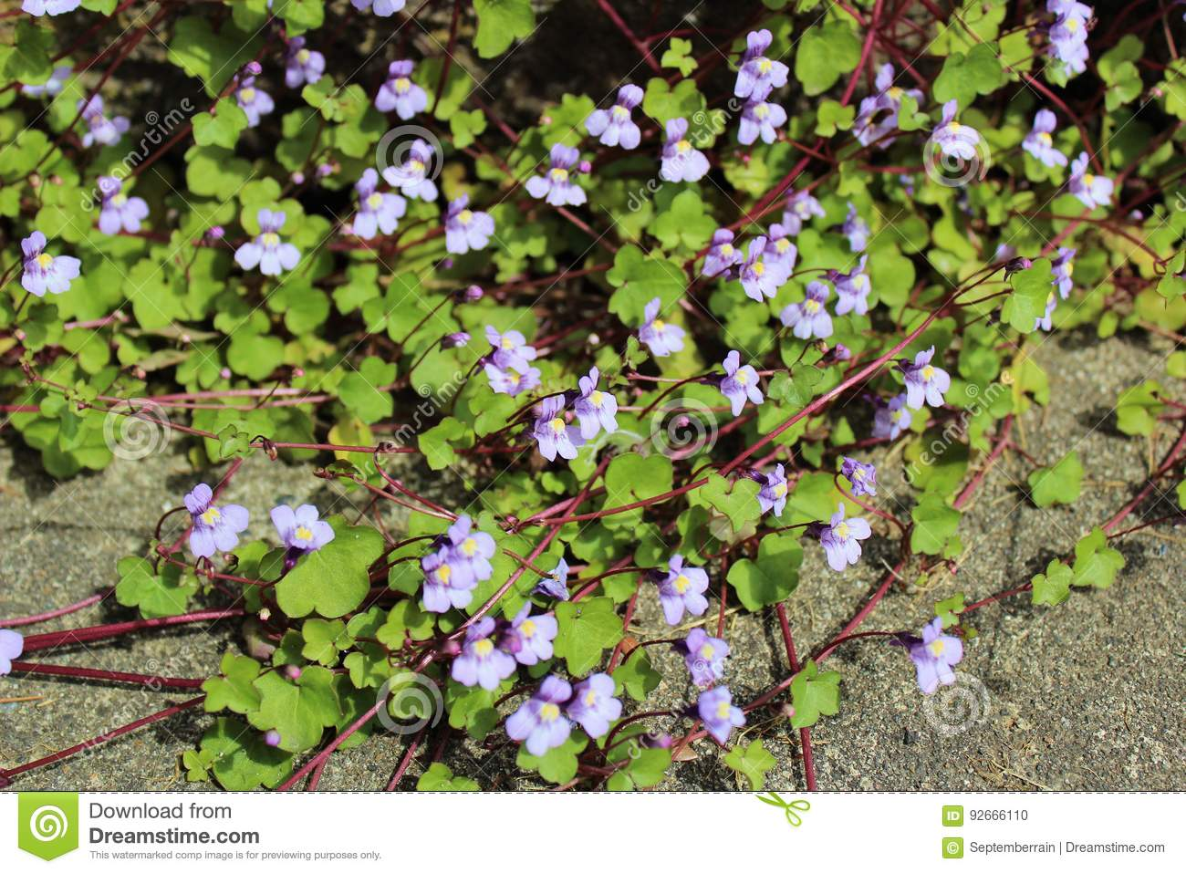 Purple Vines With Flowers Stock Photo Image Of Nature 92666110