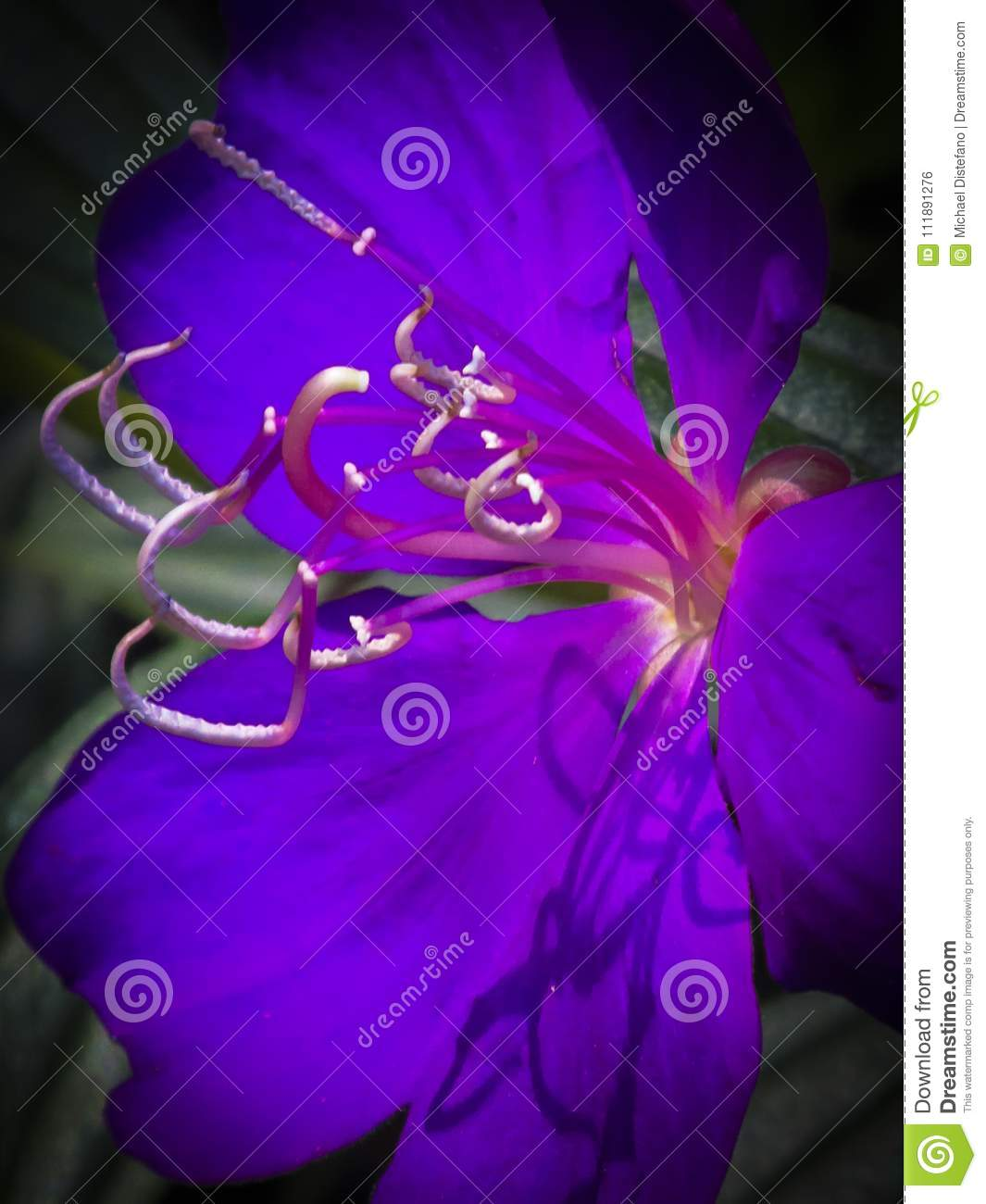 Purple Violet Flower with Stamens and Shadows