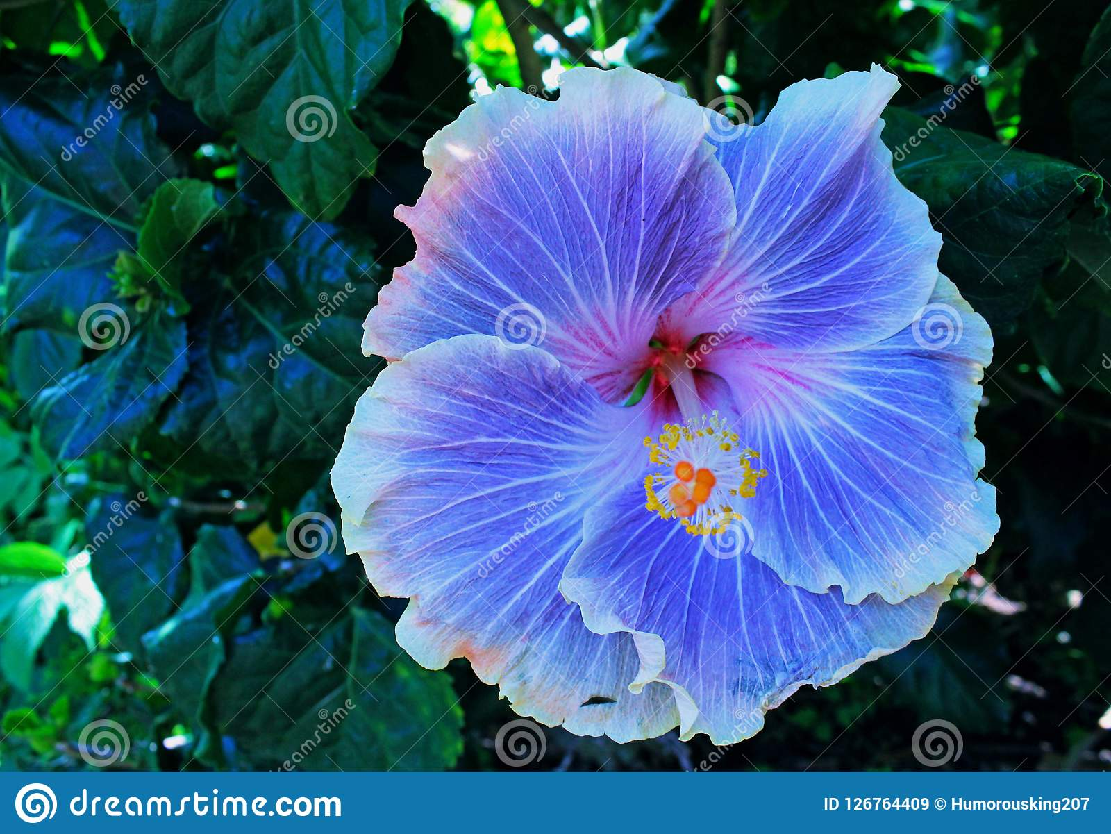 Purple Or Violet Hibiscus Rose Mallow Stock Image Image Of Rose