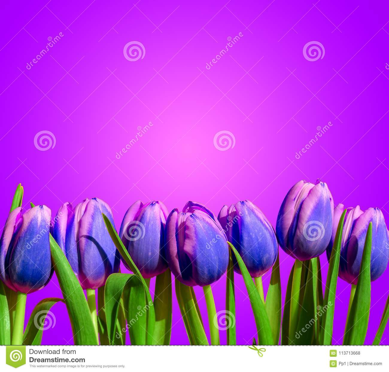 Purple violet tulips flower composition spring holiday greeting card