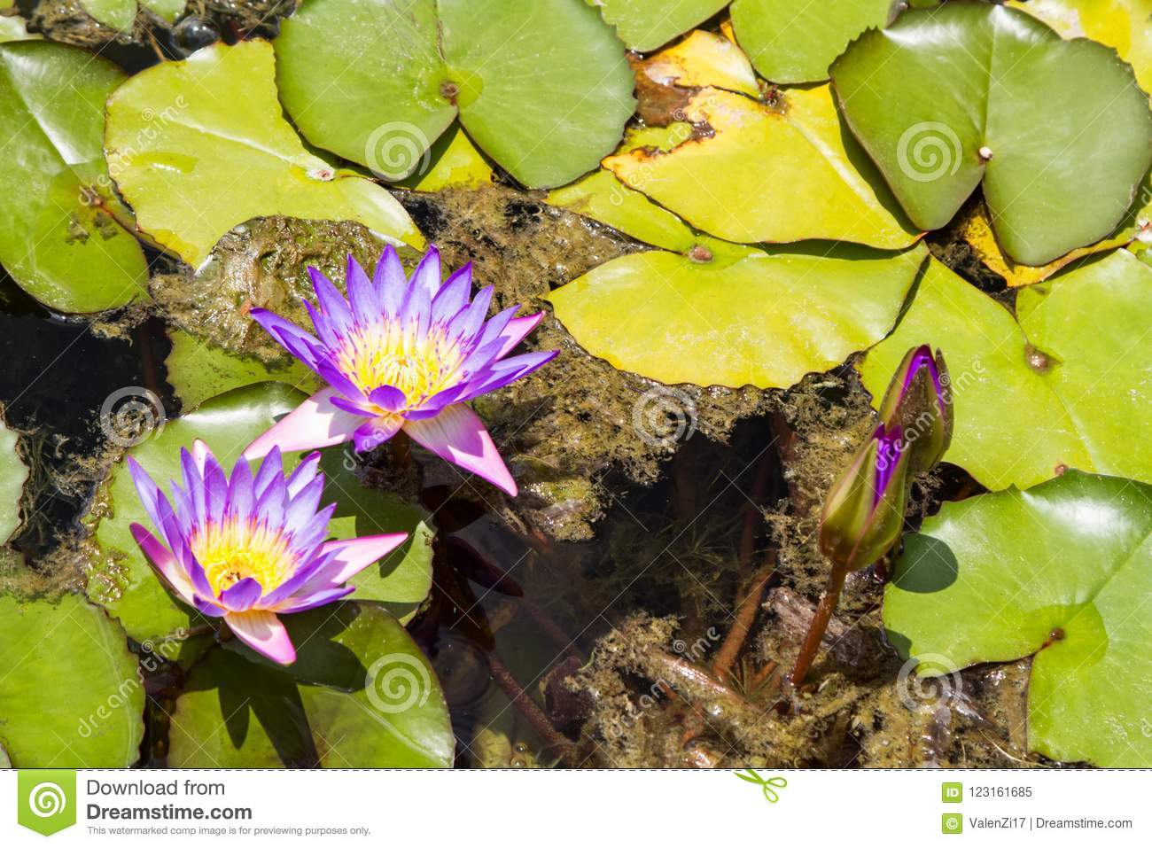 Purple Water Lilies Flowers And Buds Stock Image Image Of Garden