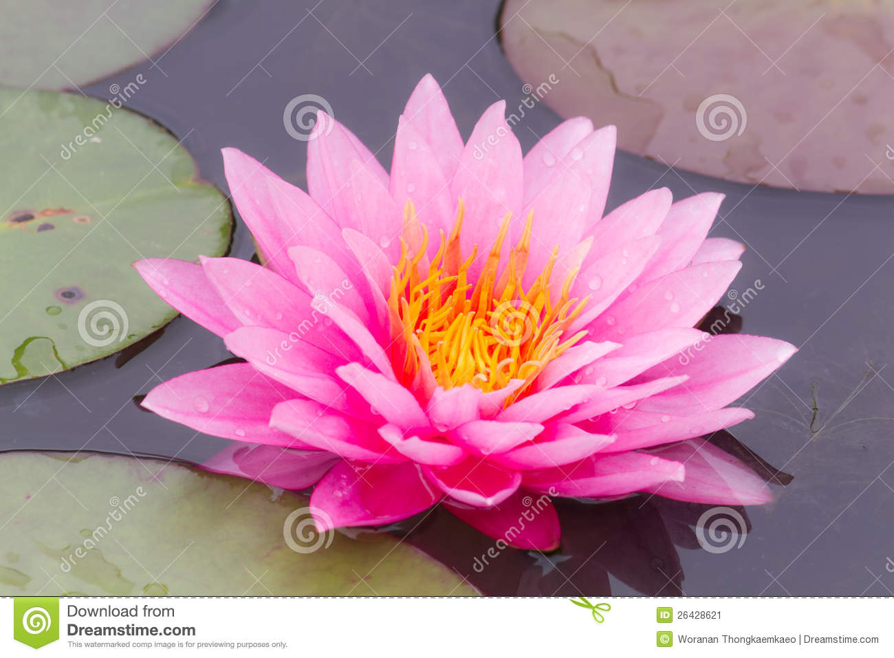 Purple water lily.
