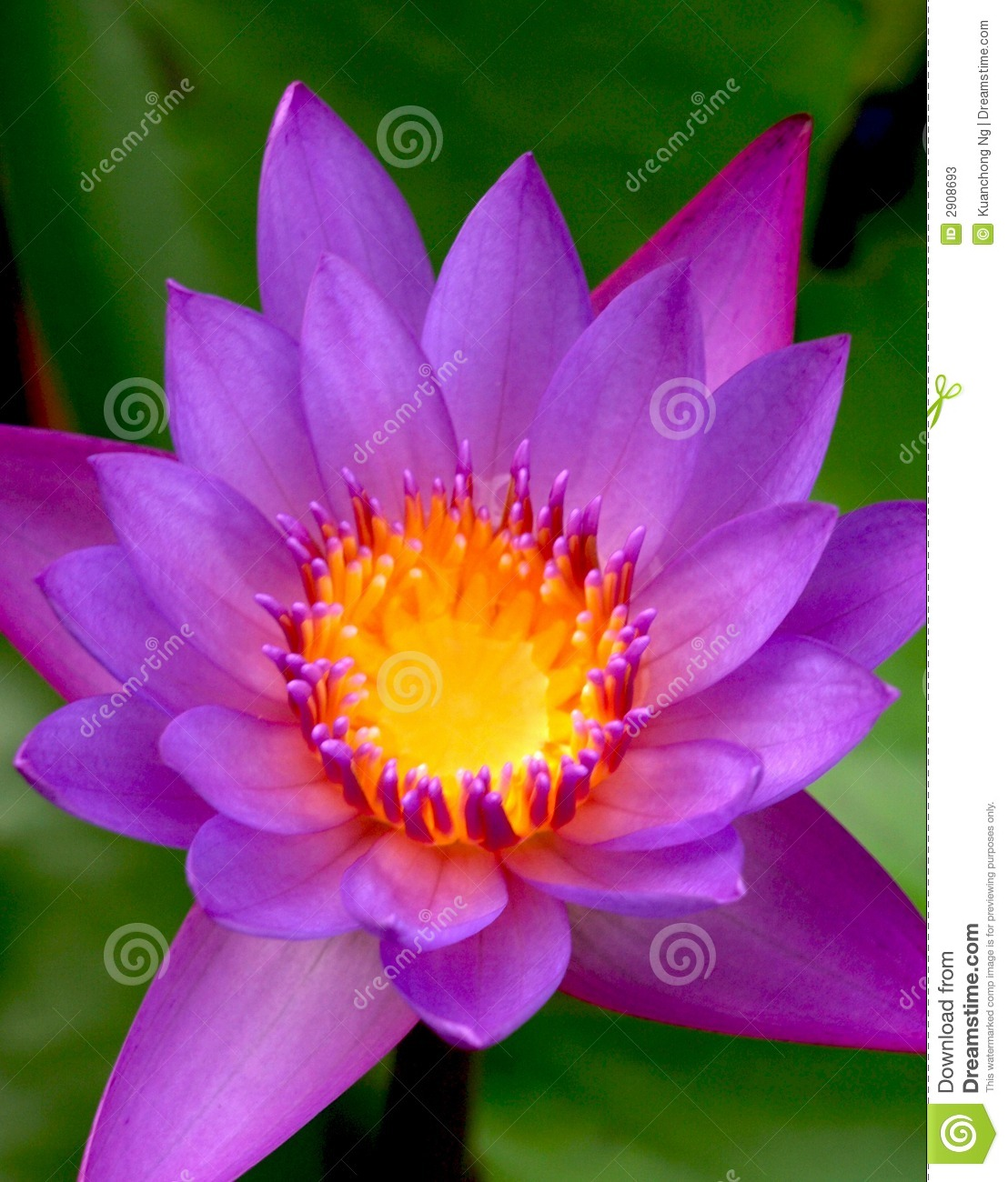 Purple Peace Lily - Bing images