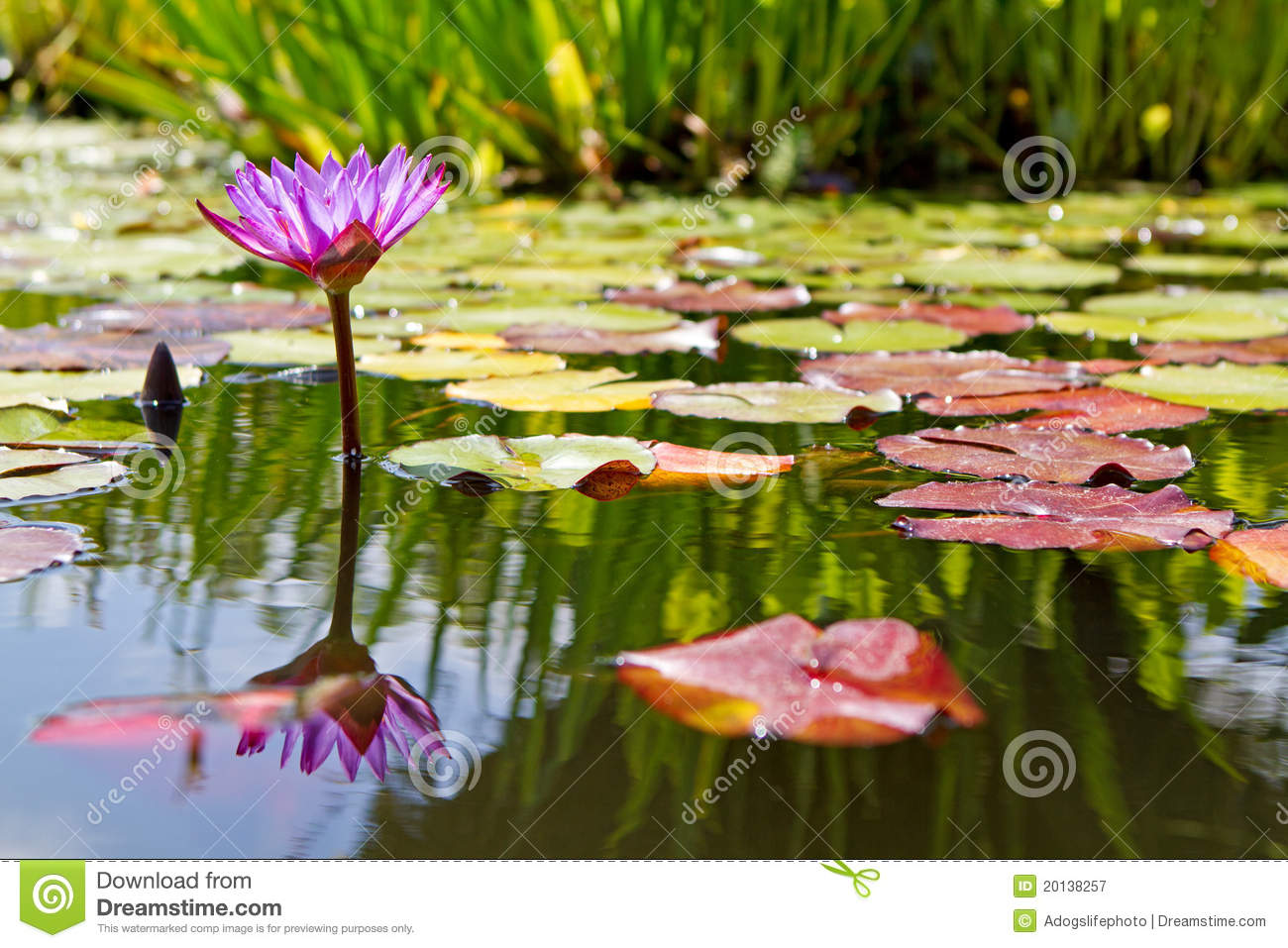 Purple Water Lily Flower In Lily Pond Stock Image Image Of