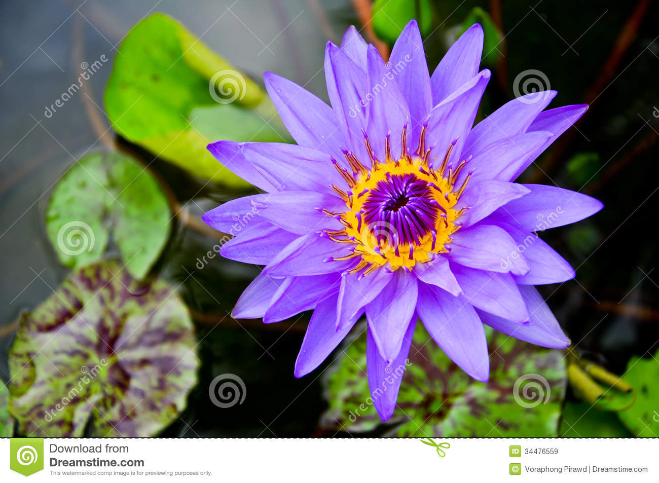 Purple water lily flowers stock image image of aquatic 34476559 purple water lily flowers izmirmasajfo