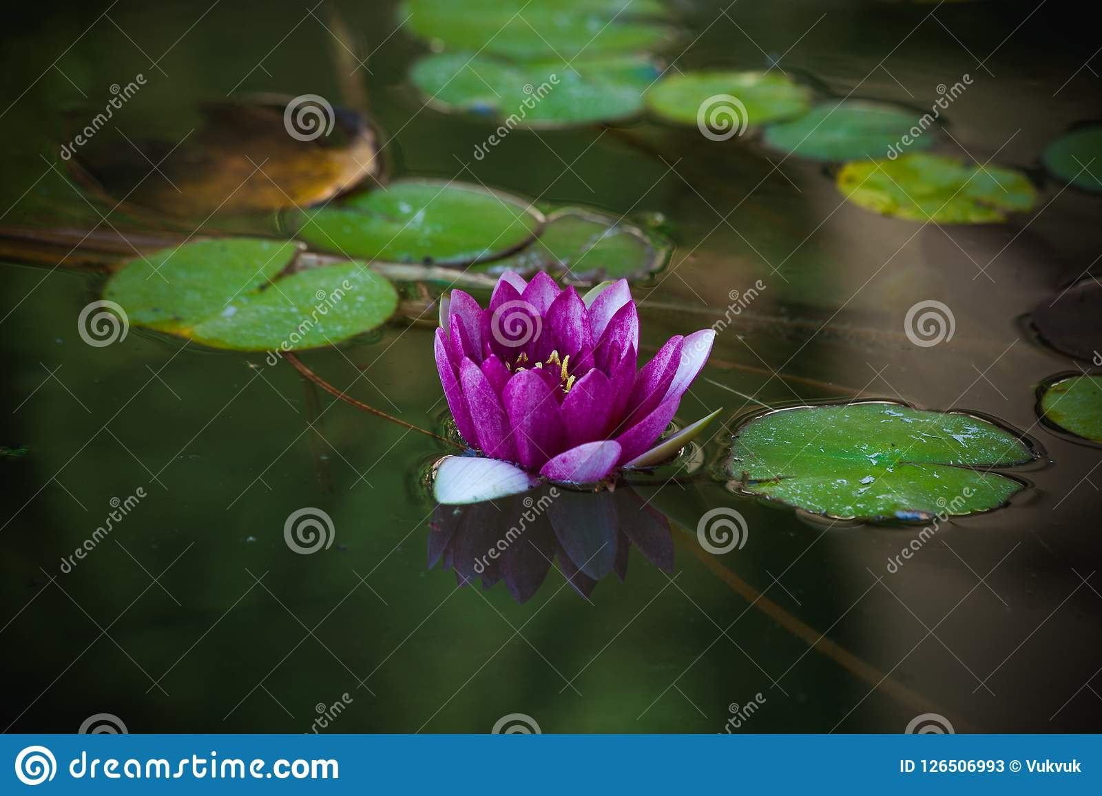 Purple water lily in small pond