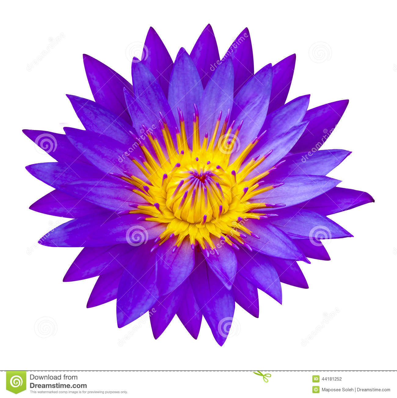 Purple Waterlilly Or Lotus Flower In Nature Lotus Pond Stock Photo