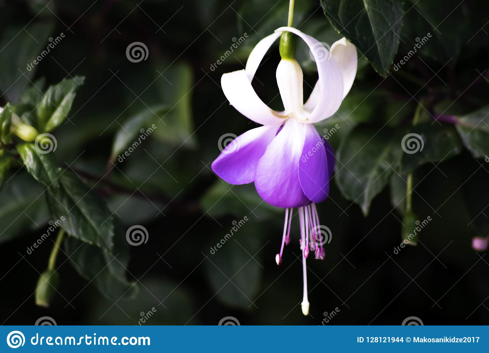 Purple and white bell flower in the garden