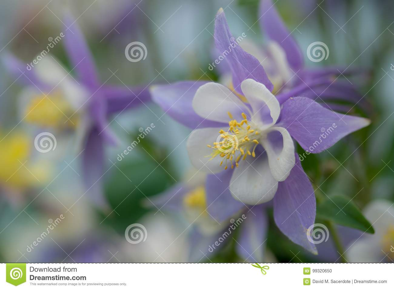 Purple and white columbine flower stock photo image of garden royalty free stock photo izmirmasajfo