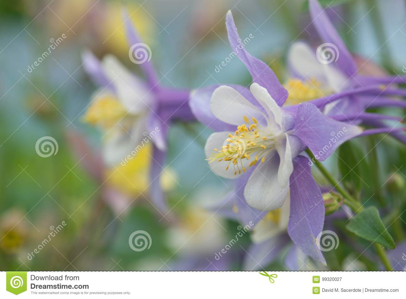 Purple And White Columbine Flower Stock Image Image Of Beauty